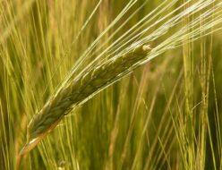 barley-field-8230_640