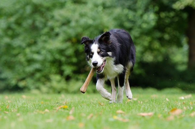 border-collie-750593_640