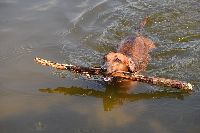 dachshund-1847978_640
