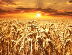 wheat-field-640960_1920