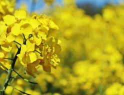 oilseed-rape-761439_640
